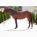 Продается лошадь. Гнедой мерин, порода Бельгийская теплокровная, УКРАИНА