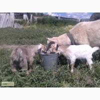 Продам 3-х месячных козлят мальчика и девочку