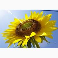 Гибрид семена подсолнечника НС Х 6006, НС Х 6007 (Нови Сад) - технология Express Sun