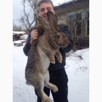 Продаю Мясо кролика