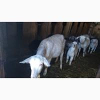 Молочные и породистые козы и козочки