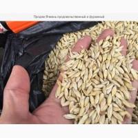 Ячмень фуражный урожай 2019 года (Казахстан)