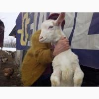 Продаются чистопородные 100% зааненские козочки и козлята от высокоудойной матери