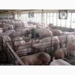 Свинина живок