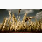 Продаю зерновые