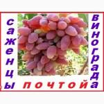 Саженцы винограда 2-х летки от производителя-почтой по России, Казахстана, Белоруссии