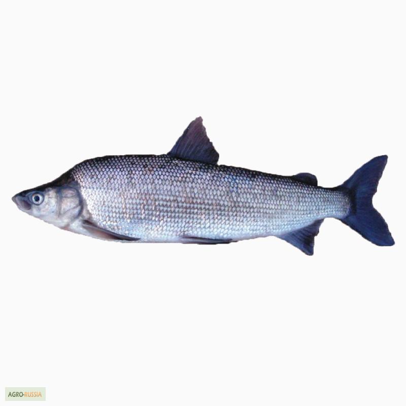 муксун рыба фото описание справляй свой праздник