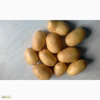 Картофель 2017 от производителя оптом