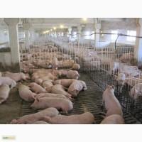 Продам: Свиней сальной породы