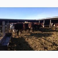 Коровы Казахской Белоголовой породы