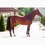 Продается лошадь, гнедой мерин, порода УВП, УКРАИНА