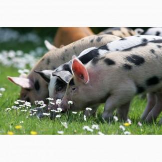 Куплю свиней на доращивание