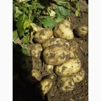 Картофель урожай 2020