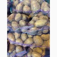 Продам продовольственный картофель, сорт Гала