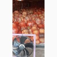 Продаем продовольственную тыкву, сорт Мускат де прованс