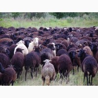 Экспорт МРС, барашки, бараны, овцы на Казахстан