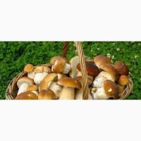Продам белые грибы оптом